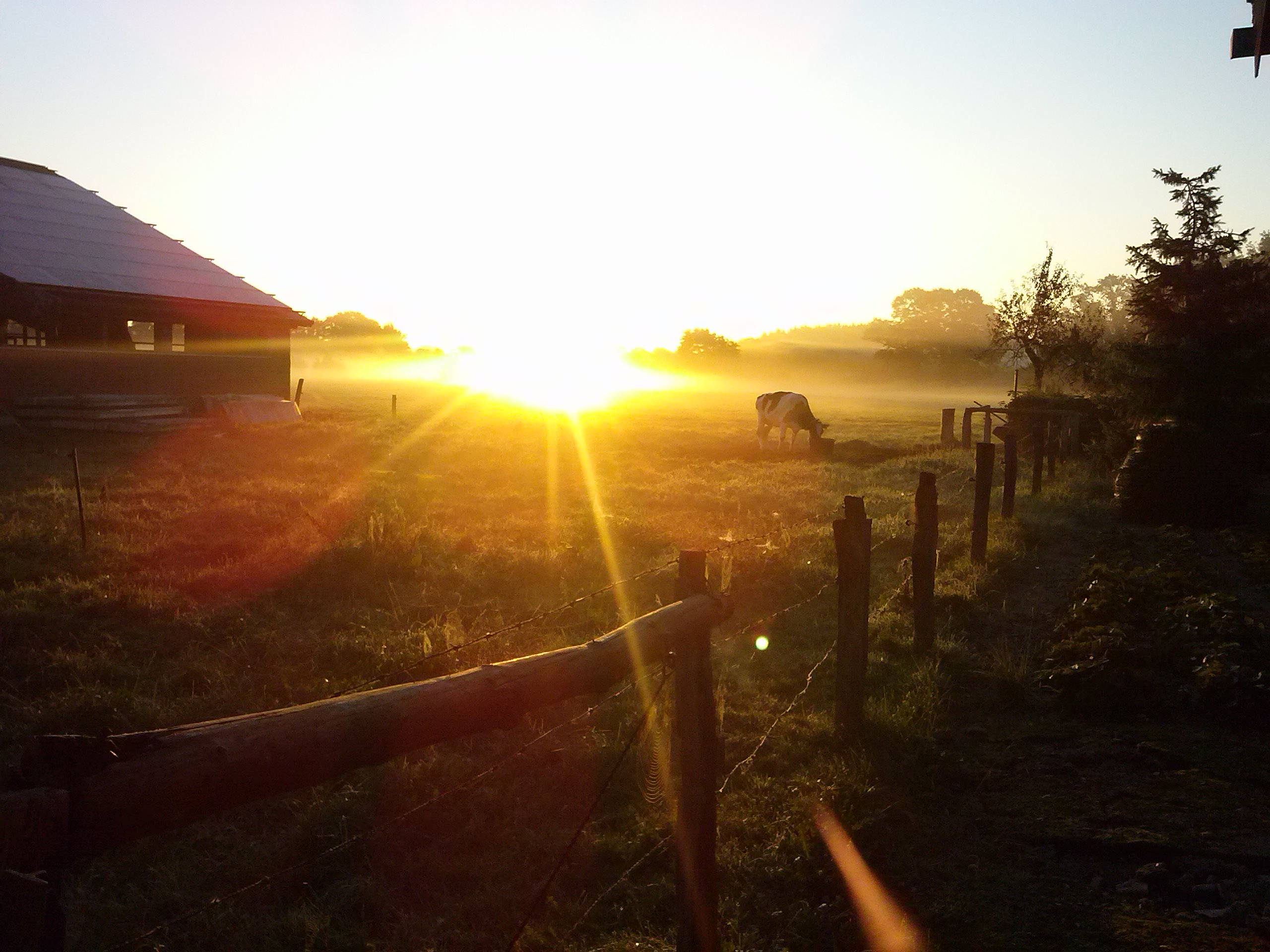 Kühe im Morgengrauen bei Sonnenaufgang