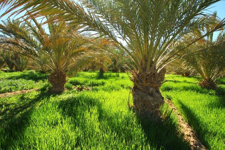 Palmen in einer Oase in Marokko mit Beeten